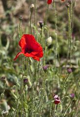 Amapola de Montjuc. (svet.llum) Tags: barcelona naturaleza flores flor catalunya catalua montjuic montjuc amapola
