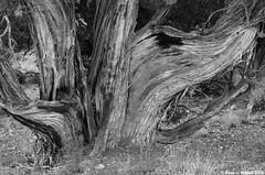 Juniper Trunk (walkerross42) Tags: statepark blackandwhite tree utah blackwhite trunk juniper fremontindian courtofceremoniestrail