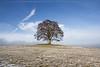 Votický javor (Rianetna) Tags: votickýjavor votice javor solitarytree lonelytree lonesometree strom osamocenýstrom solitér acerpseudoplatanus
