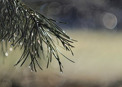 Pine-needles (nikjanssen) Tags: pineneedles bokeh vintagelenses helios442 m42 naturethroughthelens