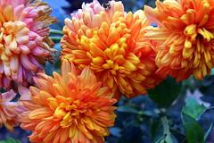 Chrysanthemum - chandramallika........ {explored!!!!} (ranju10) Tags: chrysanthemum chandramallika kolkata westbengal india flower winterflower ranju fuji finepixhs20 hs20exr