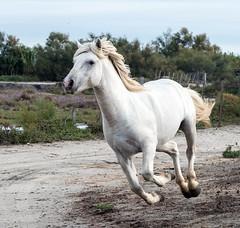 2016 Two Camargue Stallions (25) (maskirovka77) Tags: saintlaurentdaigouze languedocroussillonmidipyrén france languedocroussillonmidipyrénées fr stallion stallions whitehorse whitehorses whitestallion whitestallions createaway photoworkshop