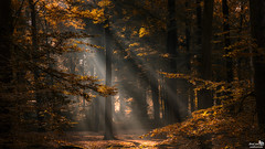 October 2016 Sun Rays in the Forest (BraCom (Bram)) Tags: bracom forest bos woods trees bomen floiage gebladerte sunlight zonlicht sunrays zonnestralen herfst autumn fall mood sfeer breda mastbos noordbrabant nederland northbrabant annualreview jaaroverzicht netherlands holland canoneos5dmkiii widescreen canon 169 canonef24105mm bramvanbroekhoven nl explore