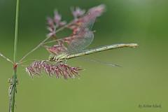 Junge Weibchen der Pokaljungfer (Erythromma lindenii) (AchimOWL) Tags: libelle makro macro natur gx8 tier tiere insekt wildlife outdoor wasser teich lumix panasonic ngc postfocus nature gras wiese