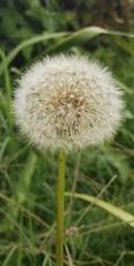 Dandelion (tellofrancis) Tags: dandelion dientedeleón plant planta nature naturaleza