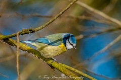 Blue Tit (phat5toe) Tags: bluetit birds avian feathers wildlife nature wigan flashes greenheart nikon d300 sigma150500