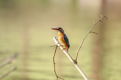 Common kingfisher (bokamanush) Tags: kingfisher commonkingfisher birds birdsofrajshahi aves মাছরাঙ্গা পাতিপাছরাঙা পাতিমাছরাঙ্গা পুচ্চিমাছরাঙা birdsofbangladesh beautifulbird wildlifephotography bokamanush bluebird green nature wildlifephoitographybangladesh rajshahi bangladesh
