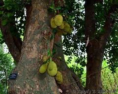 Durban 082 (REBlue) Tags: southafrica kwazulunatalprovince durban durbanbotanicalgarden jackfruit