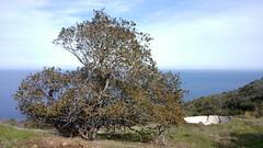 Toyon (Heteromeles arbutifolia) Tree (Chris Hunkeler) Tags: catalina transcatalina livestockbasin toyon heteromeles arbutifolia christmasberry tree mature
