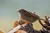Les oiseaux du 1er janvier 2017 (PierreG_09) Tags: accenteurmouchet prunellamodularis dunnock passériformes prunellidés eu seix ariège pyrénées pirineos couserans faune oiseau