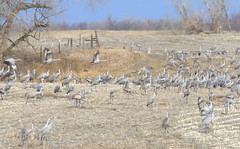 Look who's back! (Joe Wicks) Tags: sandhillcranes nebraska birds wildlife migration