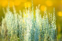 Dreaming of Summer... (mc_icedog) Tags: winnipeg manitoba canada mb summer outdoors warmth closeup bokeh shallow depth grass wildflower landscape