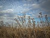 2017-01-08_AutumnalSkyDaily8-365 (vickievilla) Tags: caminodesantiago castrojeriz spain autumn skies clouds fields weeds wildflowers