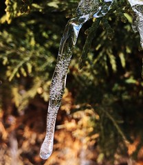 Icicle cropped (jillydee10) Tags: evergreen shrubbery shrubs winter melting icicle nature