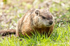 Woodchuck or Groundhog (Linda Martin Photography) Tags: woodchuck marmot marmotamonax groundhog weenusk canon5dmarklll groundpig whistler ottawa wildlife animals thickwoodbadger monax woodshock chuck ottawariver canada redmonk nature moonack canadamarmot coth naturethroughthelens ngc