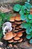Pholiota-highdalensis (Lucas Gutiérrez) Tags: pholiotahighdalensis carbonaria hongospirófilos funghi granada granadanatural lucasgutierrezjimenez