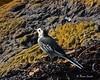 Pied Wagtail (wok smuggler) Tags: piedwagtail motacillaalba bird foreshore rocks outdoor sigma150500 nikond7100 wagtail animal