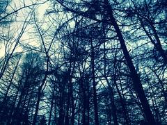 Paratiisinmäki 2 (Lauri S Laurén) Tags: trees larch tamarack sky branches tuusula finland suomi winter forest taiga woods nature naturephoto blue grey art photoart outsiderartist contemporaryart contemporary