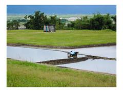 稻田 Rice fields (Y.P. Jhou) Tags: 花蓮 hualien 台灣 taiwan 自然 nature 旅遊 travel 193縣道 稻田 field