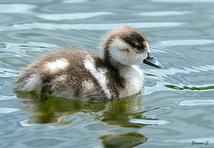 One Little Egyptian (Eleanor (No multiple invites please)) Tags: gosling egyptiangpsling the serpentine hyde{ark london nikond7100 may2016