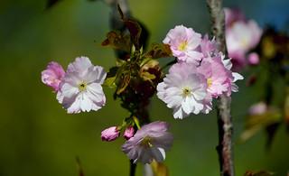 Japanese motives. Sakura.