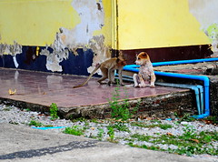 ,, Baby Monkey, Baby Puppy ,, (Jon in Thailand) Tags: puppy monkey dog k9 primate jungle yellow blue nikon d300 nikkor 175528 innocent wildlife wildlifephotography abandoneddogs green plasticpipe littledoglaughedstories