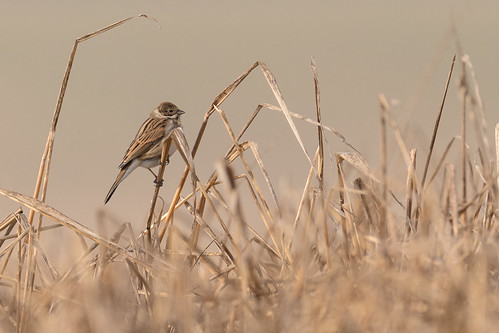 Bruant des roseaux Emberiza schoeniclus - Common Reed Bunting