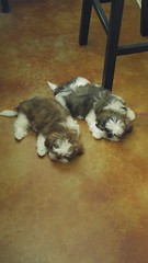 Ginger and Hoss (sparkdawg068) Tags: doggies dogs dog puppy puppies animals pets cute cutie pet shihtzus