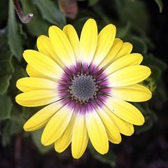 Yellow Target (Read2me) Tags: cye flower yellow circle round petals pink square pregamesweepwinner duele explore superherowinner challengeclubwinner gamewinner thechallengefactory friendlychallenges storybookotr x2
