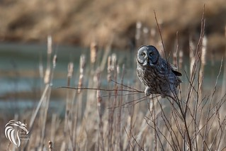 Great Grey Owl of the Adirondacks | 2017 - 2