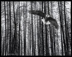 Defying Gravity! (jackalope22) Tags: eagle trees yellowstone wyoming montatan soar wings flight