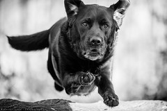Jumping in shadow. (Marcus Legg) Tags: marcuslegg max monochrome dog pet canon eos jumps jumping woods fur fun dogs joy retriever blackandwhite animal 1dx outside bokeh forest outdoors lab labrador running play natural woodland blacklabradorretriever