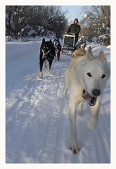Woody (R. Drozda) Tags: fairbanks alaska northpole chenalakesrecreationarea mikeagbabadogmushingtrails fairbanksnorthstarboroughparksandrecreation dogteam sleddog alaskahusky dogmushing kathy woody flo lia minto drozda littledoglaughedstories