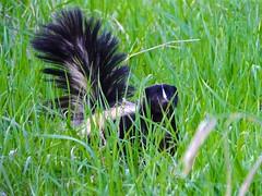 Skunk, 2 (stillphototheater) Tags: funny wildlife catfood visiting skunk