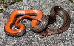 Red-bellied Snake (Storeria occipitomaculata) (jd.willson) Tags: red field island bay reptile snake maine jd redbelly bellied herps redbellied willson islesboro fieldherping herping penobcot jdwillson