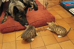 Marley and the kittens (christina.marsh25) Tags: pet animals cat kitten kittens germanshepherd marley firstimpression gsd firstmeeting