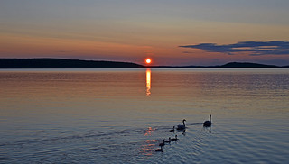 Mute Swans life. Sunset on the lake Vesijärvi. Finland. Summer