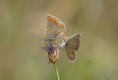 ( ,  )  / Brown Argus / Aricia agestis /   / Kleine Sonnenrschen-Bluling (katunchik) Tags: butterfly bulgaria schmetterling lycaenidae bulgarien bulharsko