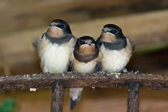 Young Swallows (jayneboo) Tags: travel baby birds three perch perched migration youngster swallows odc secondhatch