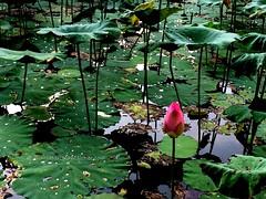 IMG_4069 (singaporeplantslover) Tags: nymphaea   lotus