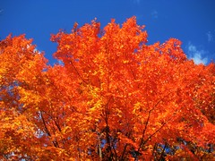 High Park on fire - Toronto (imposible?) Tags: autumn red plant toronto flower tree highpark outdoor september foliage fallcolours changeoffoliage