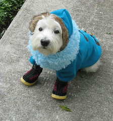 """10/12A ~ Riley - """"Bring on the Snow, I'm ready for it!"""" (ellenc995) Tags: winter snow riley westie westhighlandwhiteterrier challenge coth supershot abigfave pet500 pet100 pet1000 pet1500 platinumheartaward thesuperbmasterpiece rubyphotographer hatsandthings 100commentgroup alittlebeauty challengeclub coth5 thesunshinegroup sunrays5 12monthsfordogs15"""