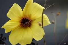 fleur jaune de septembre (laurentmorand) Tags: flower macro nature fleur plante garden photo jardin septembre morand