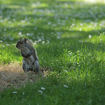 "Squirrel standing <a style=""margin-left:10px; font-size:0.8em;"" href=""http://www.flickr.com/photos/136811580@N02/22415412464/"" target=""_blank"">@flickr</a>"