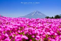 """Pink Moss Shibazakura May 2015"" : งานเทศกาล Fuji Shibazakura  จัดช่วงเดือนกลางเดือนเม.ย- กลางเดือน พ.ค ของทุกปี เปิด 8.00 – 17.00 น. ค่าเข้าชม 520 เยน ประมาณ 150 บาท : การเดินทางนั่งรถบัส Shibazakura Liner  ให้บริการจากสถานี Kawaguchiko  ใช้เวลาประมาณ 30"