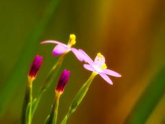 GOOD MORNING (Saimir.Kumi) Tags: morning light flower nature colors closeup photography outdoor naturallight fujifilm albania tirana raynoxdcr250 finepixs9600