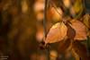Herbstblätter (Axel Ku.) Tags: autumn colors 35mm germany bayern deutschland bavaria dof herbst franken leafs blätter würzburg f20 frankonia unterfranken herbststimmung herbstfarben frankenwarte canonef35mmf20 canoneos5dmarkiii