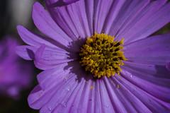 DSC02110_edited (François wry) Tags: macro violet coeur pistil tendresse petale rochecorbon
