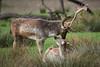 Daim et daine (jordanc_pictures) Tags: animal animals deer daim saintecroix daine parcdesaintecroix
