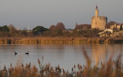 Cygne noir et Tour de Constance - IMG_4120 (1) (6franc6) Tags: 30 novembre rando languedoc vélo gard aiguesmortes 2015 petitecamargue 6franc6